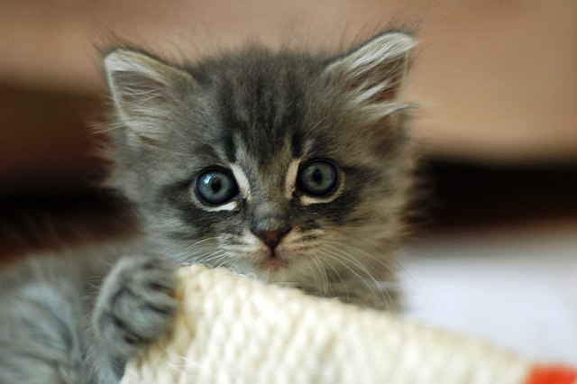 Cute grey kitten picture